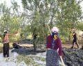 Badem diyarı Kahta'da hasat zamanı